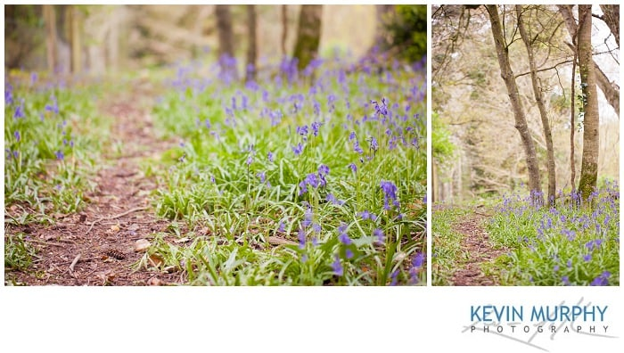 Photo of bluebells in dromoland woods