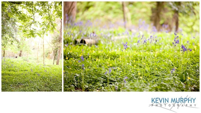 Photo of bluebells in dromoland forest
