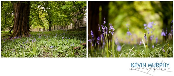 Photo of bluebells in dromoland woodlands